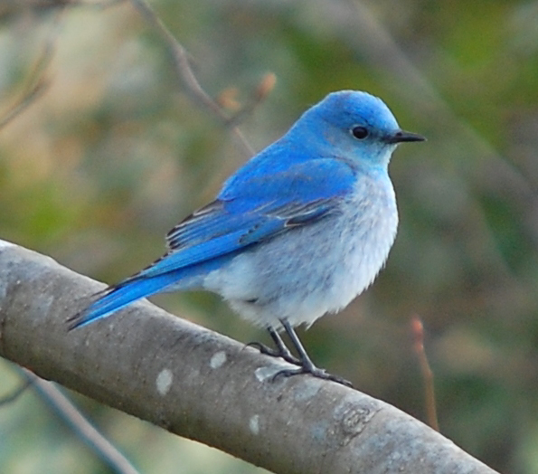 birdmountainbluebirdmale
